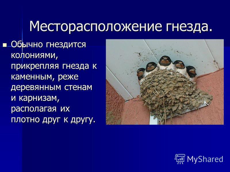 Месторасположение гнезда. Обычно гнездится колониями, прикрепляя гнезда к каменным, реже деревянным стенам и карнизам, располагая их плотно друг к другу. Обычно гнездится колониями, прикрепляя гнезда к каменным, реже деревянным стенам и карнизам, рас