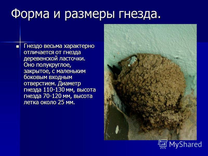 Форма и размеры гнезда. Гнездо весьма характерно отличается от гнезда деревенской ласточки. Оно полукруглое, закрытое, с маленьким боковым входным отверстием. Диаметр гнезда 110-130 мм, высота гнезда 70-120 мм, высота летка около 25 мм. Гнездо весьма
