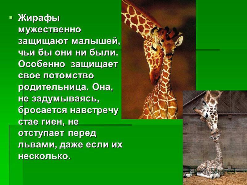 Жирафы мужественно защищают малышей, чьи бы они ни были. Особенно защищает свое потомство родительница. Она, не задумываясь, бросается навстречу стае гиен, не отступает перед львами, даже если их несколько. Жирафы мужественно защищают малышей, чьи бы