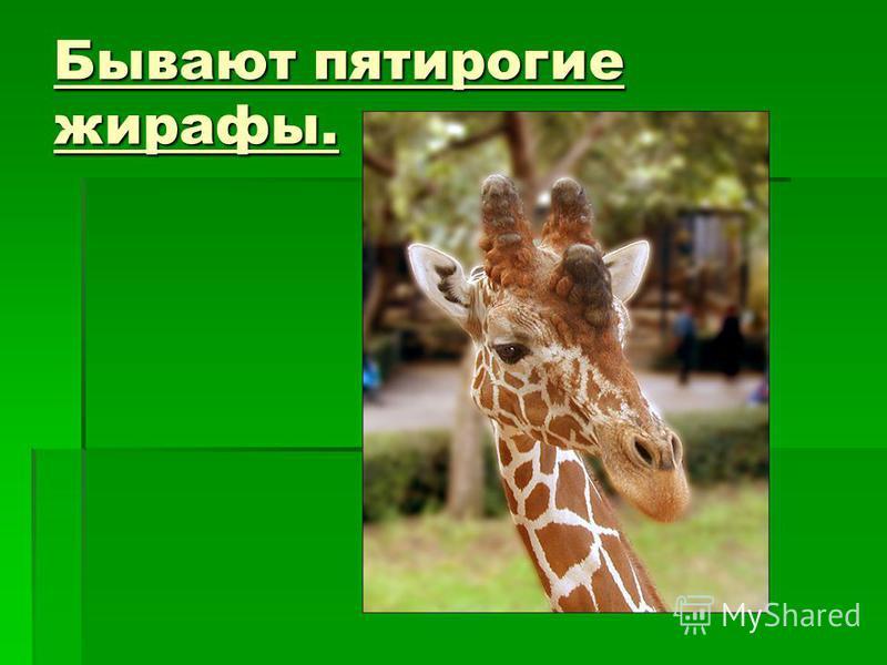 Бывают пятирогие жирафы. Бывают пятирогие жирафы.