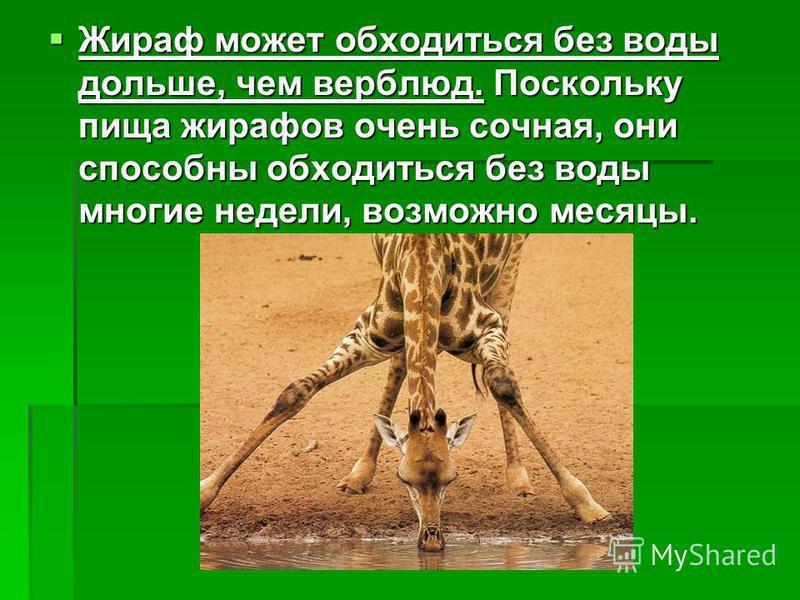 Жираф может обходиться без воды дольше, чем верблюд. Поскольку пища жирафов очень сочная, они способны обходиться без воды многие недели, возможно месяцы. Жираф может обходиться без воды дольше, чем верблюд. Поскольку пища жирафов очень сочная, они с
