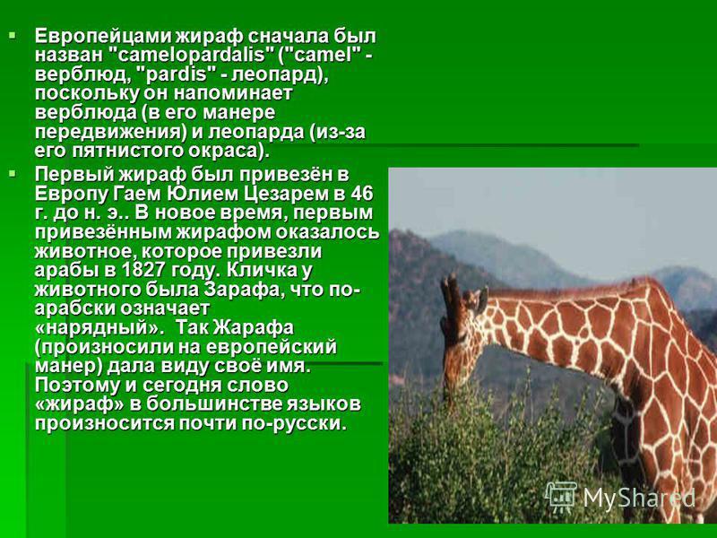 Европейцами жираф сначала был назван