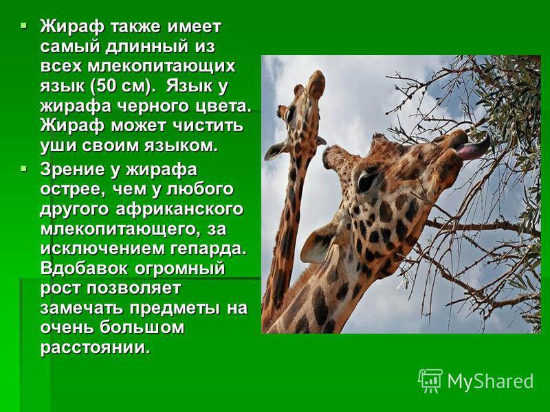 Жираф также имеет самый длинный из всех млекопитающих язык (50 см). Язык у жирафа черного цвета. Жираф может чистить уши своим языком. Жираф также имеет самый длинный из всех млекопитающих язык (50 см). Язык у жирафа черного цвета. Жираф может чистит