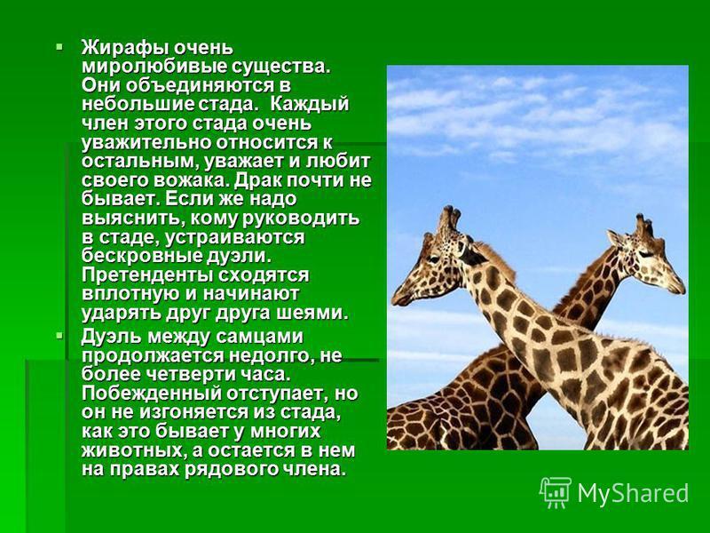 Жирафы очень миролюбивые существа. Они объединяются в небольшие стада. Каждый член этого стада очень уважительно относится к остальным, уважает и любит своего вожака. Драк почти не бывает. Если же надо выяснить, кому руководить в стаде, устраиваются