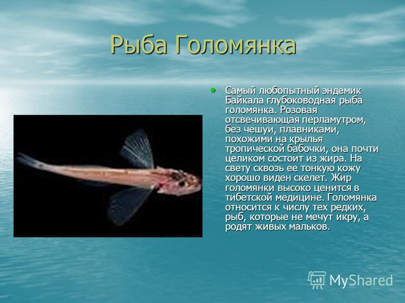 Рыба Голомянка Рыба Голомянка Самый любопытный эндемик Байкала глубоководная рыба голомянка. Розовая отсвечивающая перламутром, без чешуи, плавниками, похожими на крылья тропической бабочки, она почти целиком состоит из жира. На свету сквозь ее тонку