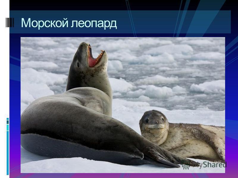 Тюлень - крабоед