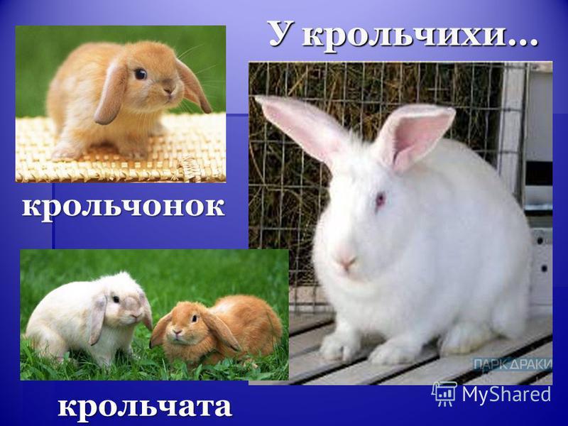 У крольчихи… крольчата крольчонок