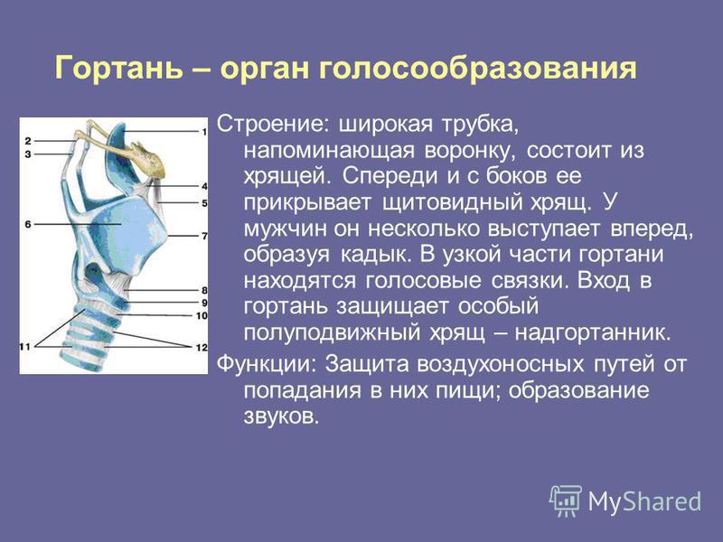 Гортань – орган голосообразования Строение: широкая трубка, напоминающая воронку, состоит из хрящей. Спереди и с боков ее прикрывает щитовидный хрящ. У мужчин он несколько выступает вперед, образуя кадык. В узкой части гортани находятся голосовые свя