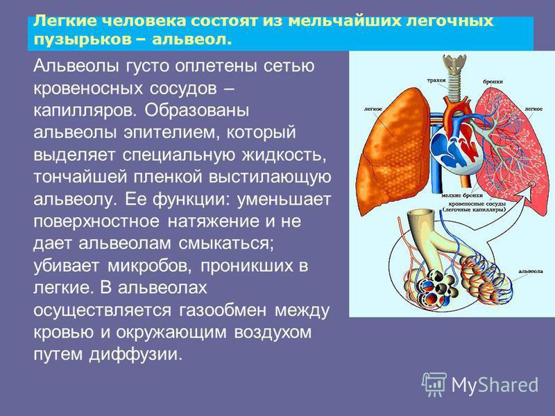 Легкие человека состоят из мельчайших легочных пузырьков – альвеол. Альвеолы густо оплетены сетью кровеносных сосудов – капилляров. Образованы альвеолы эпителием, который выделяет специальную жидкость, тончайшей пленкой выстилающую альвеолу. Ее функц