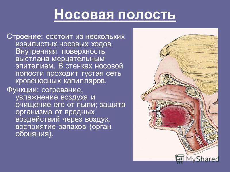 Носовая полость Строение: состоит из нескольких извилистых носовых ходов. Внутренняя поверхность выстлана мерцательным эпителием. В стенках носовой полости проходит густая сеть кровеносных капилляров. Функции: согревание, увлажнение воздуха и очищени