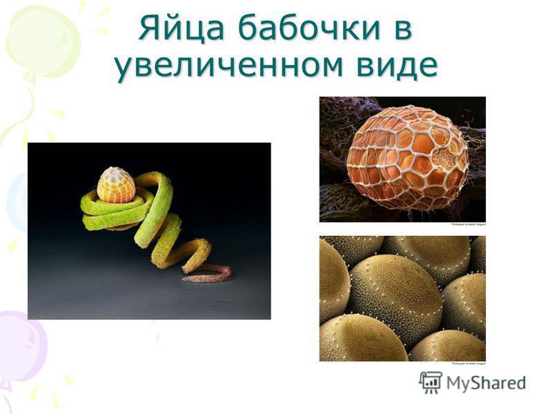 Яйца бабочки в увеличенном виде