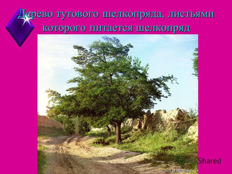 Дерево тутового шелкопряда, листьями которого питается шелкопряд