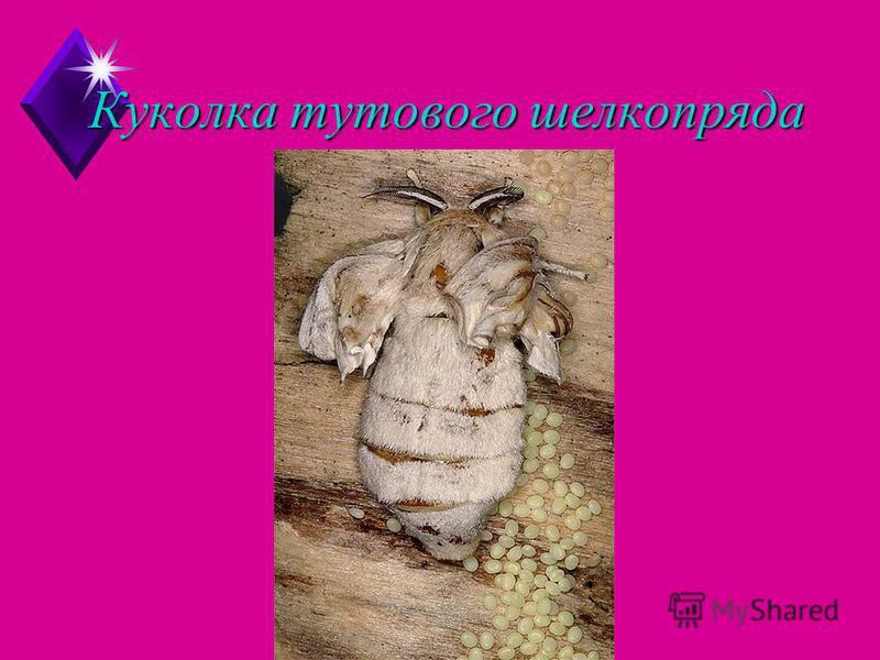 Куколка тутового шелкопряда