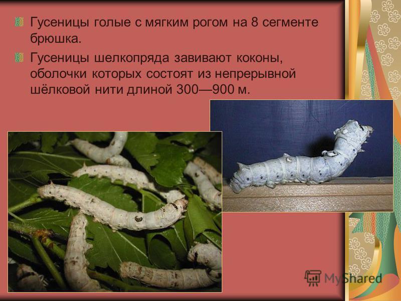 Гусеницы голые с мягким рогом на 8 сегменте брюшка. Гусеницы шелкопряда завивают коконы, оболочки которых состоят из непрерывной шёлковой нити длиной 300900 м.