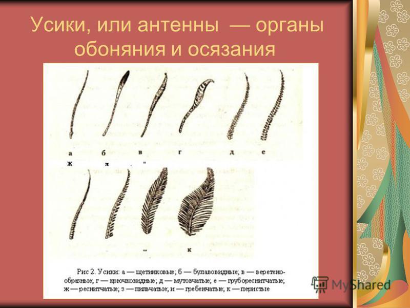 Усики, или антенны органы обоняния и осязания