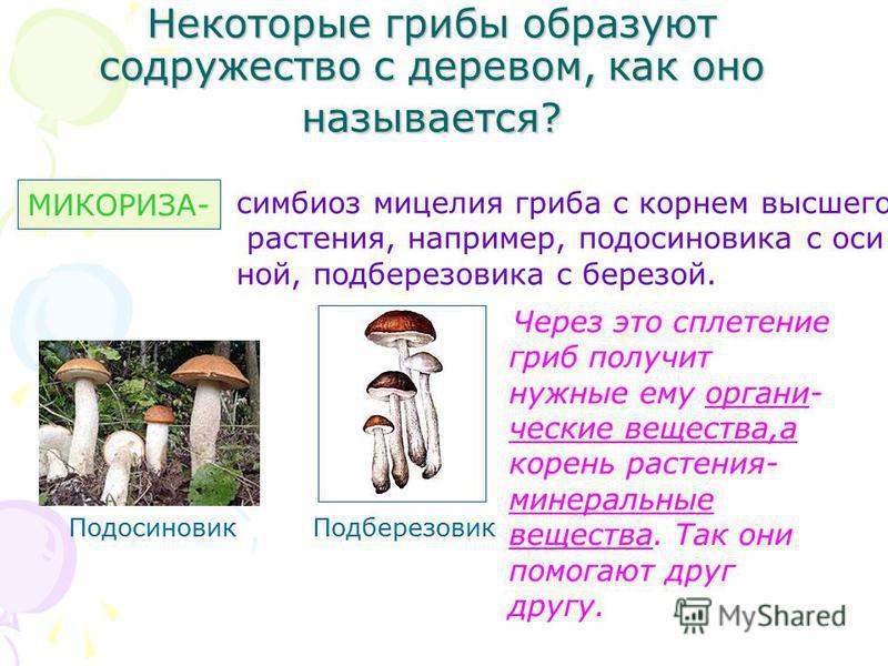 Некоторые грибы образуют содружество с деревом, как оно называется? МИКОРИЗА- симбиоз мицелия гриба с корнем высшего растения, например, подосиновика с оси ной, подберезовика с березой. Подберезовик Подосиновик Через это сплетение гриб получит нужные