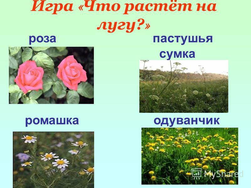Игра « Что растёт на лугу? » роза пастушья сумка ромашка одуванчик