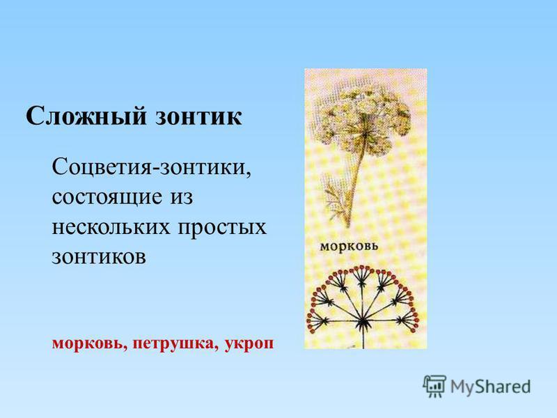 Сложный зонтик Соцветия-зонтики, состоящие из нескольких простых зонтиков морковь, петрушка, укроп
