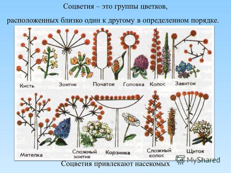 Соцветия – это группы цветков, расположенных близко один к другому в определенном порядке. Соцветия привлекают насекомых