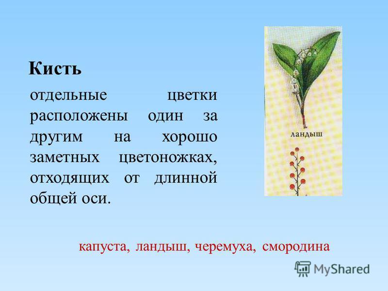 Кисть отдельные цветки расположены один за другим на хорошо заметных цветоножках, отходящих от длинной общей оси. капуста, ландыш, черемуха, смородина