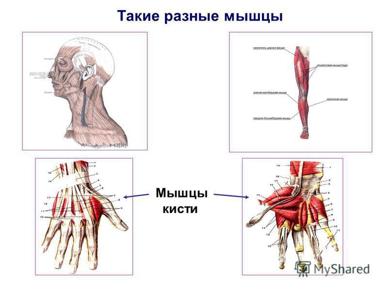 Мышцы кисти Такие разные мышцы