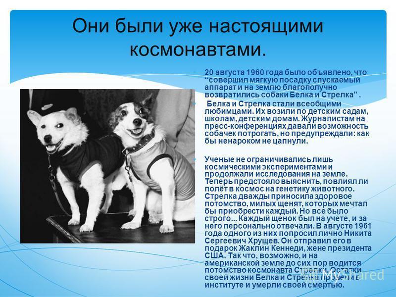 Они были уже настоящими космонавтами. 20 августа 1960 года было объявлено, что совершил мягкую посадку спускаемый аппарат и на землю благополучно возвратились собаки Белка и Стрелка. Белка и Стрелка стали всеобщими любимцами. Их возили по детским сад