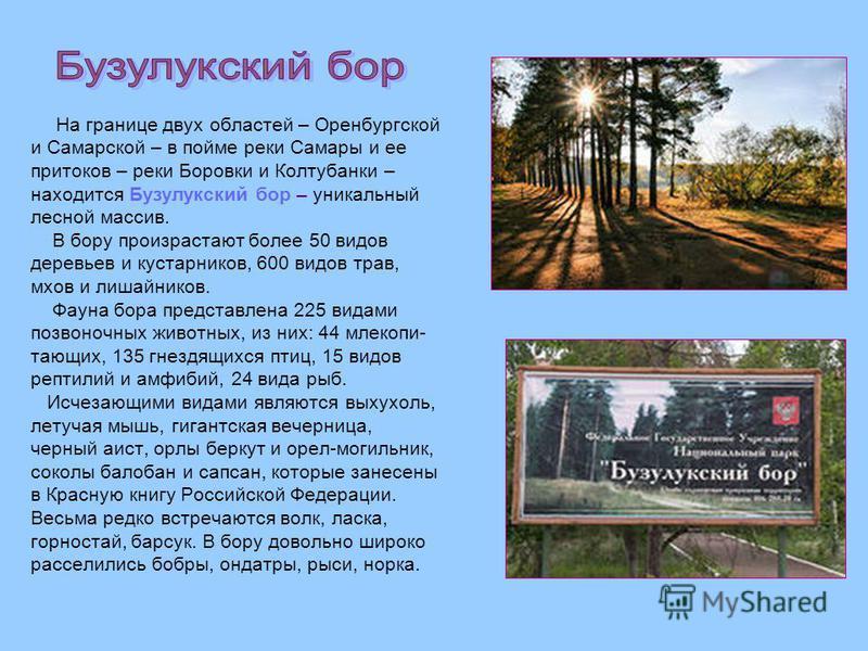На границе двух областей – Оренбургской и Самарской – в пойме реки Самары и ее притоков – реки Боровки и Колтубанки – находится Бузулукский бор – уникальный лесной массив. В бору произрастают более 50 видов деревьев и кустарников, 600 видов трав, мхо