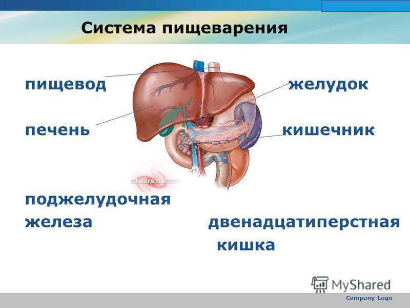 www.themegallery.com Company Logo Система пищеварения пищевод желудок печень кишечник поджелудочная железа двенадцатиперстная кишка