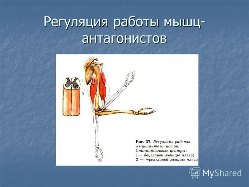 Регуляция работы мышц- антагонистов