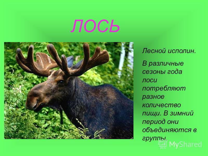 ЛОСЬ Лесной исполин. В различные сезоны года лоси потребляют разное количество пищи. В зимний период они объединяются в группы.