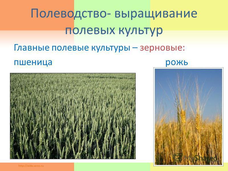 Полеводство- выращивание полевых культур Главные полевые культуры – зерновые: пшеница рожь 11