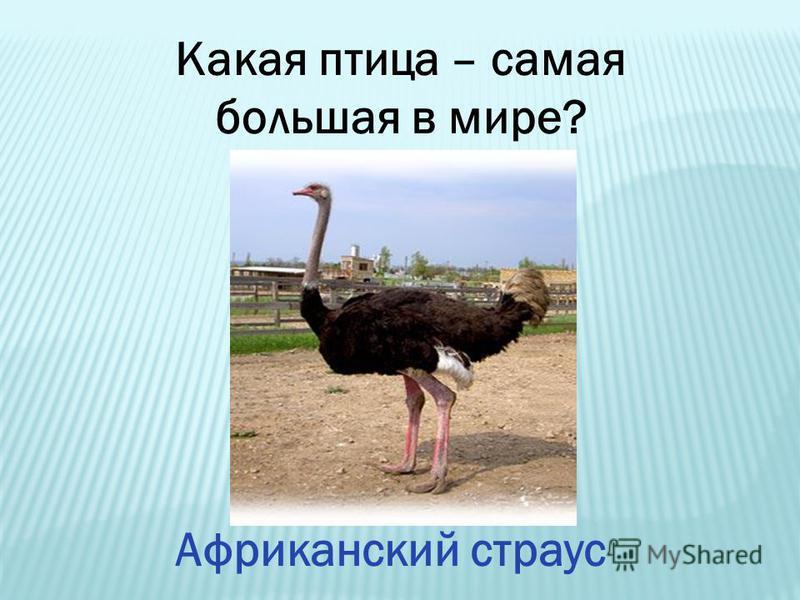 Какая птица – самая большая в мире? Африканский страус