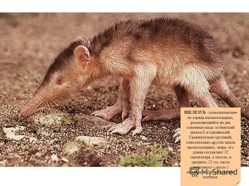 ЩЕЛЕЗУБ - млекопитающее из отряда насекомоядных, разделяющийся на два основных вида: кубинский щелезуб и гаитянский. Сравнительно крупный, относительно других типов насекомоядных, зверь: его длина составляет 32 сантиметра, а хвоста, в среднем, 25 см,