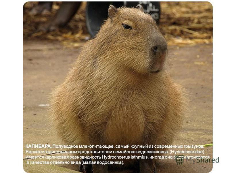 КАПИБАРА. Полуводное млекопитающее, самый крупный из современных грызунов. Является единственным представителем семейства водосвинковых (Hydrochoeridae). Имеется карликовая разновидность Hydrochoerus isthmius, иногда она рассматривается в качестве от
