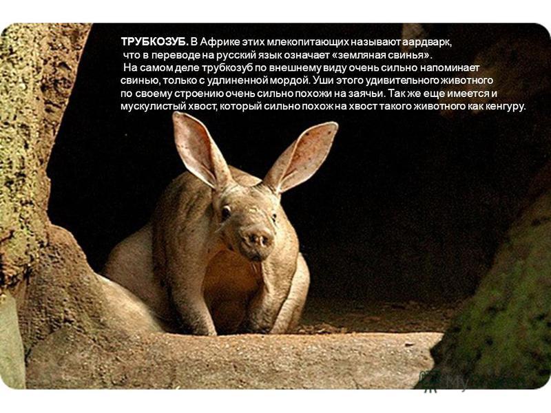 ТРУБКОЗУБ. В Африке этих млекопитающих называют аардварк, что в переводе на русский язык означает «земляная свинья». На самом деле трубкозуб по внешнему виду очень сильно напоминает свинью, только с удлиненной мордой. Уши этого удивительного животног