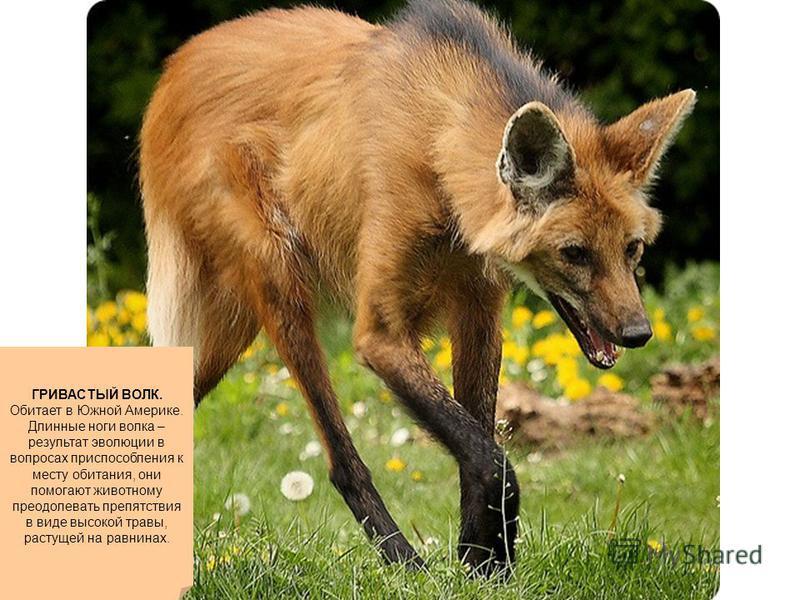 ГРИВАСТЫЙ ВОЛК. Обитает в Южной Америке. Длинные ноги волка – результат эволюции в вопросах приспособления к месту обитания, они помогают животному преодолевать препятствия в виде высокой травы, растущей на равнинах.