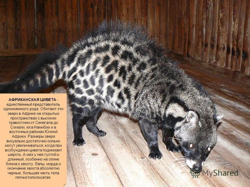 АФРИКАНСКАЯ ЦИВЕТА - единственный представитель одноименного рода. Обитают эти звери в Африке на открытых пространствах с высоким травостоем от Сенегала до Сомали, юга Намибии и в восточных районах Южной Африки. Размеры зверя визуально достаточно сил