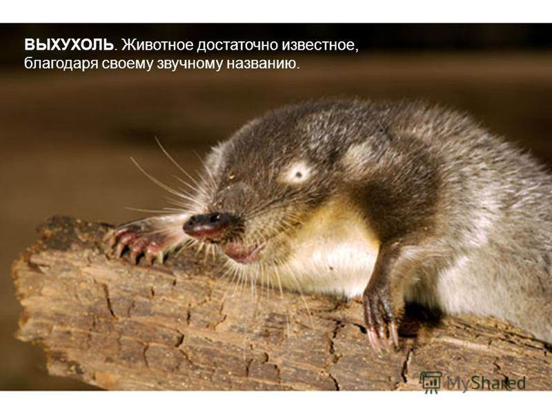 ВЫХУХОЛЬ. Животное достаточно известное, благодаря своему звучному названию.