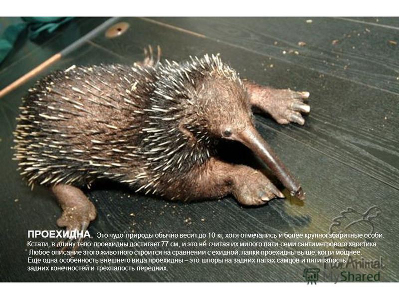 ПРОЕХИДНА. Это чудо природы обычно весит до 10 кг, хотя отмечались и более крупногабаритные особи. Кстати, в длину тело про ехидны достигает 77 см, и это не считая их милого пяти-семи сантиметрового хвостика. Любое описание этого животного строится н