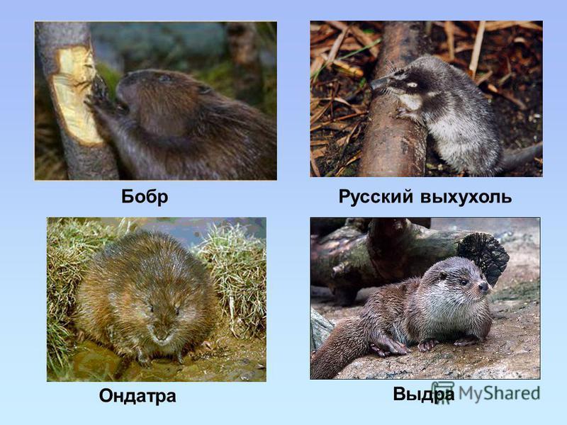 Выдра Русский выхухоль Бобр Ондатра
