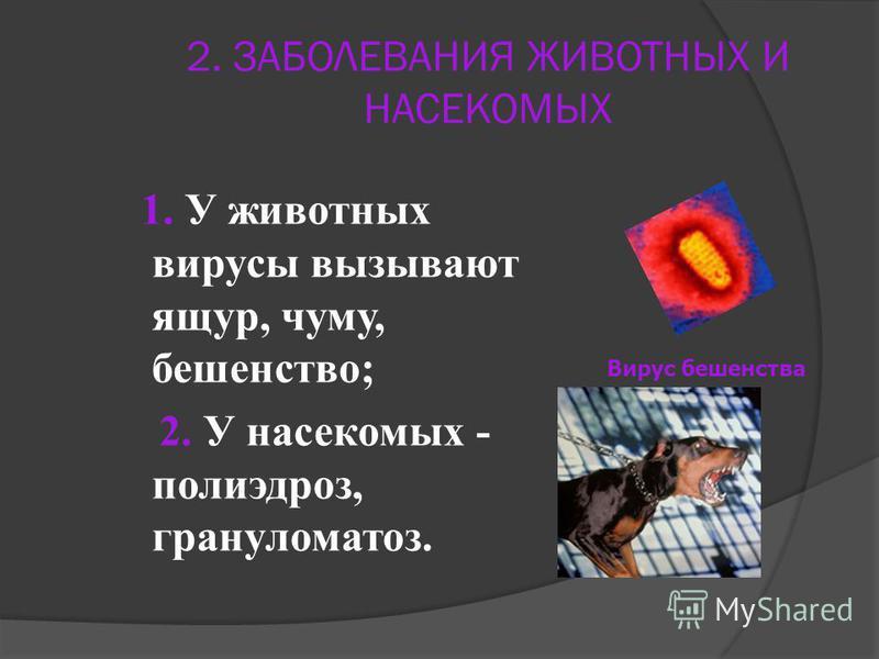 2. ЗАБОЛЕВАНИЯ ЖИВОТНЫХ И НАСЕКОМЫХ 1. У животных вирусы вызывают ящур, чуму, бешенство; 2. У насекомых - полиэдроз, гранулематоз. Вирус бешенства