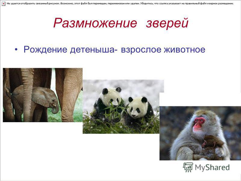 Размножение зверей Рождение детеныша- взрослое животное