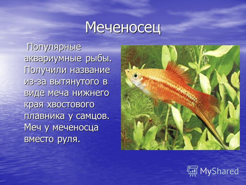 Меченосец Популярные аквариумные рыбы. Получили название из-за вытянутого в виде меча нижнего края хвостового плавника у самцов. Меч у меченосца вместо руля. Популярные аквариумные рыбы. Получили название из-за вытянутого в виде меча нижнего края хво