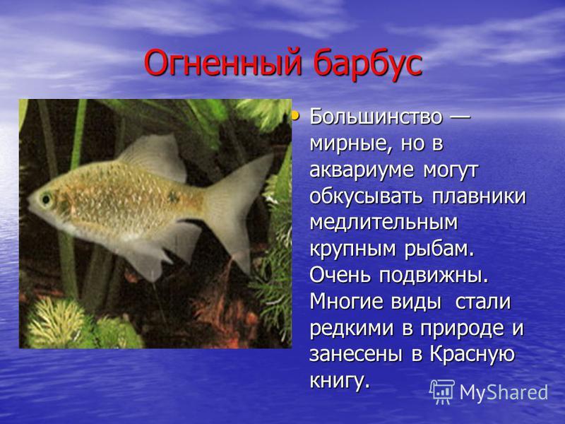 Огненный барбус Большинство мирные, но в аквариуме могут обкусывать плавники медлительным крупным рыбам. Очень подвижны. Многие виды стали редкими в природе и занесены в Красную книгу. Большинство мирные, но в аквариуме могут обкусывать плавники медл