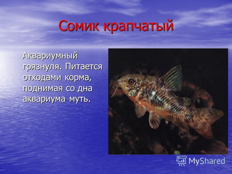 Сомик крапчатый Аквариумный грязнуля. Питается отходами корма, поднимая со дна аквариума муть. Аквариумный грязнуля. Питается отходами корма, поднимая со дна аквариума муть.