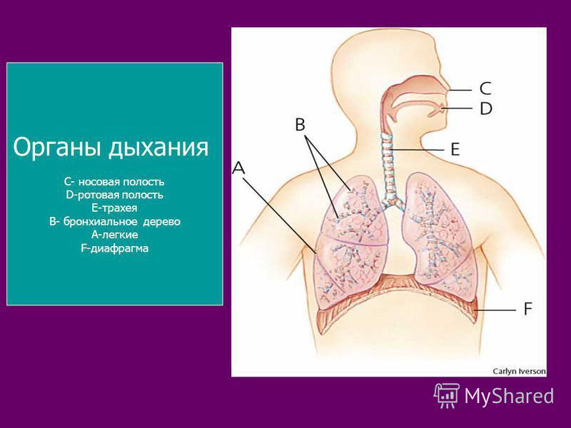 Органы дыхания С- носовая полость D-ротовая полость Е-трахея В- бронхиальное дерево А-легкие F-диафрагма