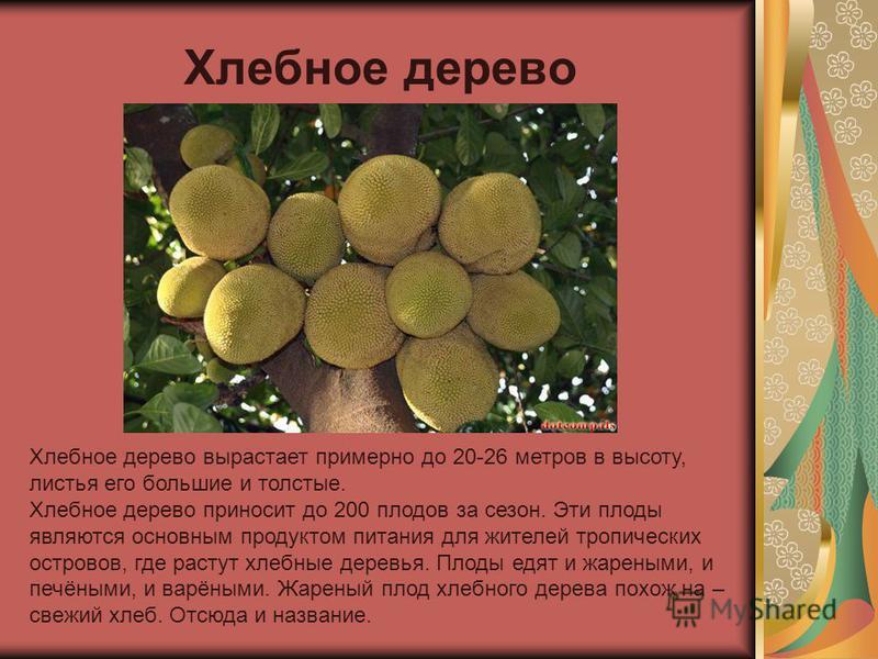 Хлебное дерево вырастает примерно до 20-26 метров в высоту, листья его большие и толстые. Хлебное дерево приносит до 200 плодов за сезон. Эти плоды являются основным продуктом питания для жителей тропических островов, где растут хлебные деревья. Плод
