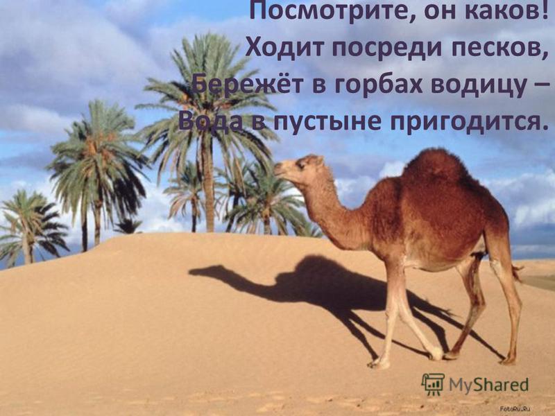 Посмотрите, он каков! Ходит посреди песков, Бережёт в горбах водицу – Вода в пустыне пригодится.