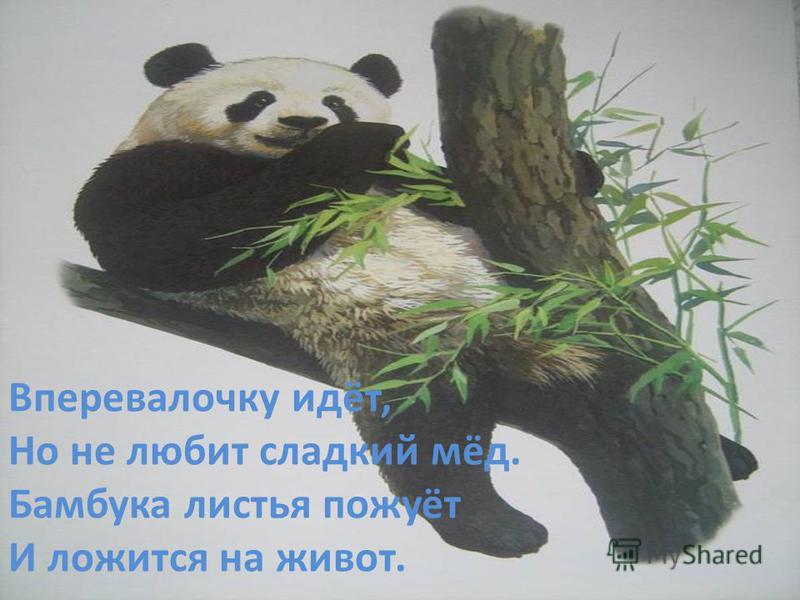 Вперевалочку идёт, Но не любит сладкий мёд. Бамбука листья пожуёт И ложится на живот.