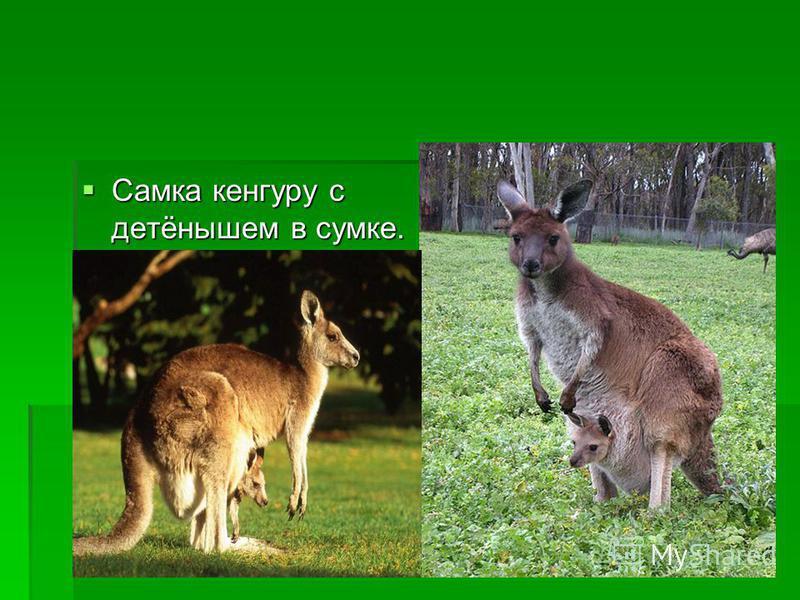 Самка кенгуру с детёнышем в сумке. Самка кенгуру с детёнышем в сумке.
